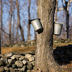 Sap buckets on sugar maple trees in Lyme, New Hampshire.  Stone wall.  Spring.  Acorn Hill Road.