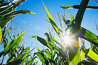 Tops of corn plants against blue sky with sun.