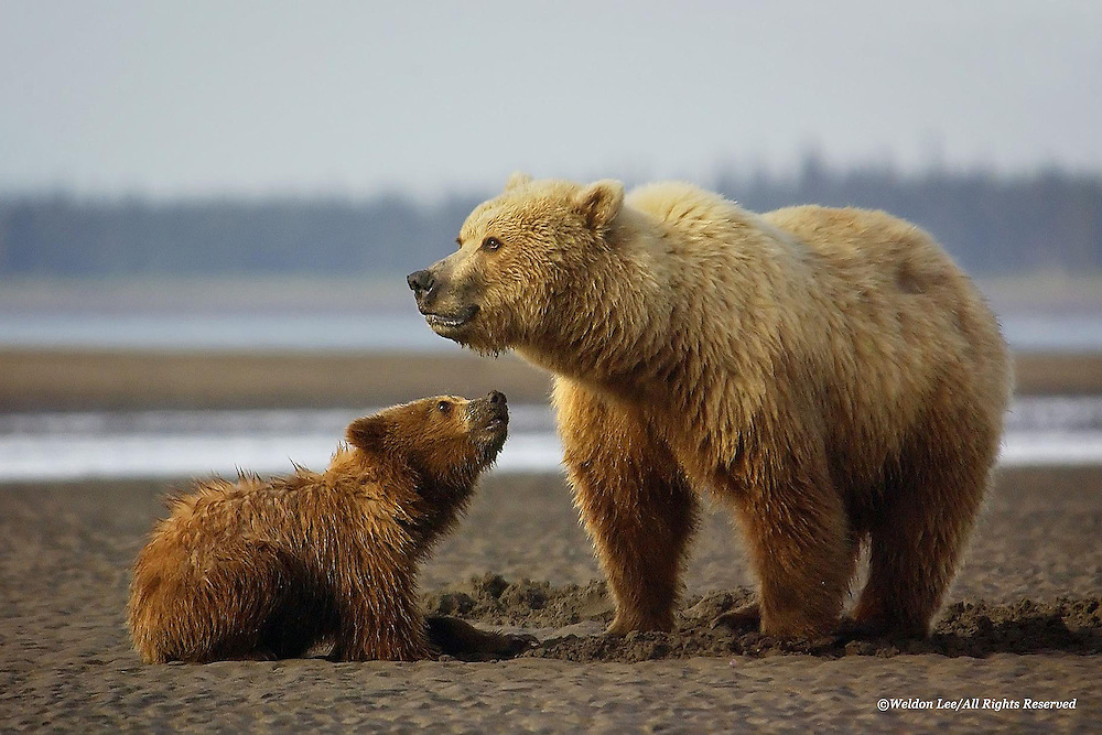 Brown Bear<br /> Lake Clark National Park, Alaska<br /> <br /> Claming is a learning process for brown bears; and, it takes time to become proficient. This spring cub is looking up to its mother as if to ask, &quot;How'm I doin' Mom?&quot;<br /> <br /> Edition of 500