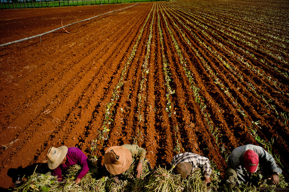 Planting potatoes near near Güira de Melena, Cuba. The Cuban government last year legalized a range of small businesses, including an agriculture exchange. But the partial privatization of agriculture has made farming here less efficient, illustrating the practical limitations that continue to hold the country back. Photo/Tomas Munita