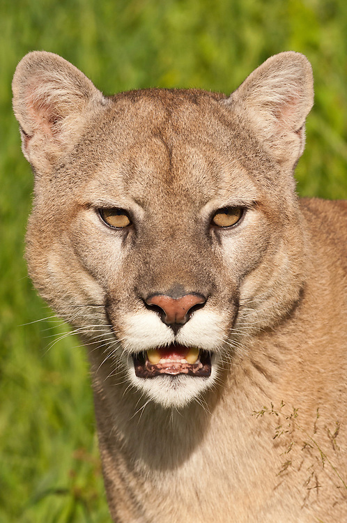 Mountain lion, Felis (Puma) concolor, native to Canada, the USA, Mexico, Central and South America