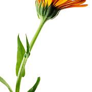 Calendula stem and flower