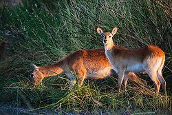 A pair of Lechwe (Kobus leche) drinking from a swamp in the morning, Moremi Game Reserve, Botswana, Africa