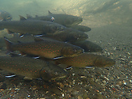 Bull Trout<br /> <br /> Todd Pearsons/Engbretson Underwater Photography