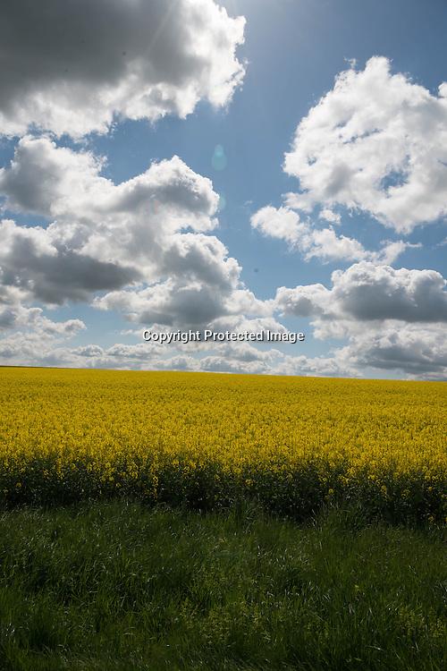 France, Burgundy region. landScape. yellow rape fields