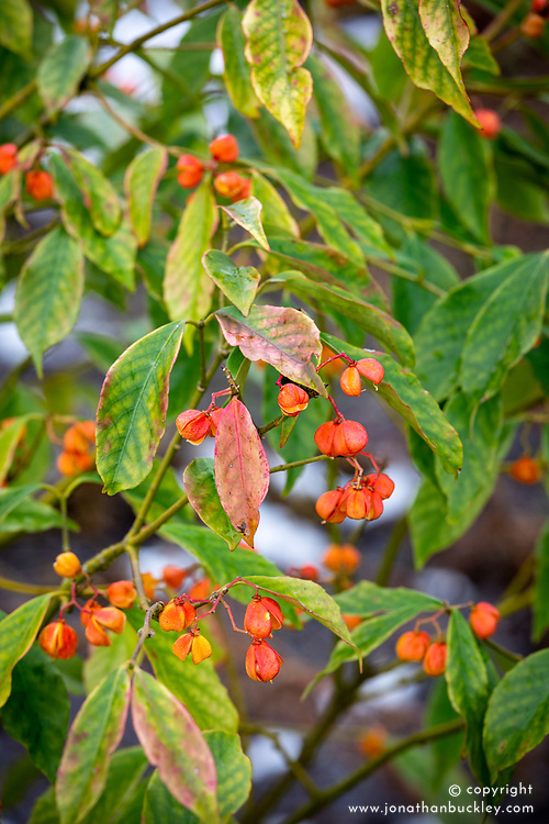 The berries of Euonymus myrianthus in winter - Spindle tree