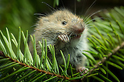 A young (31day old) red tree vole (Arborimus longicaudus) eating a Douglas fir needle. Red tree voles are rarely seen. They are nocturnal and live in Douglas fir tree tops and almost never come to the forest floor.  They are one of the few animals that can persist on a diet of conifer needles which is their principle food.  As a defense mechanism, conifer trees have resin ducts in their needles that contain chemical compounds (terpenoids) that make them unpalatable to animals.  Tree voles, however, are able to strip away these resin ducts and eat the remaining portion of the conifer needle.