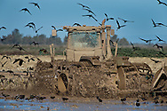 Ibis surround a tractor as it rolls the rice stubel and attracts the feeding birds which in turn fertilize the soil, a win win situation for nature and the farmer. November 1, 2011.