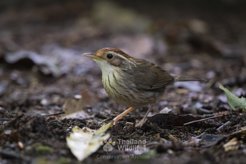 The puff-throated babbler or spotted babbler (Pellorneum ruficeps) is a species of passerine bird found in Asia. They are found in scrub and moist forest mainly in hilly regions. They forage in small groups on the forest floor, turning around leaf litter to find their prey and usually staying low in the undergrowth where they can be hard to spot.