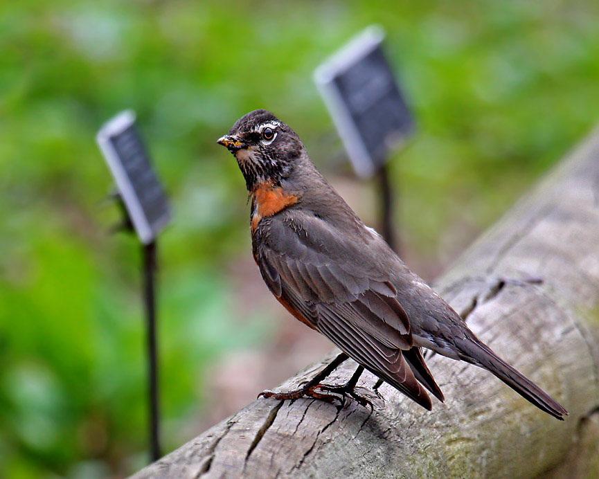 Robin in the Native Fauna Garden.