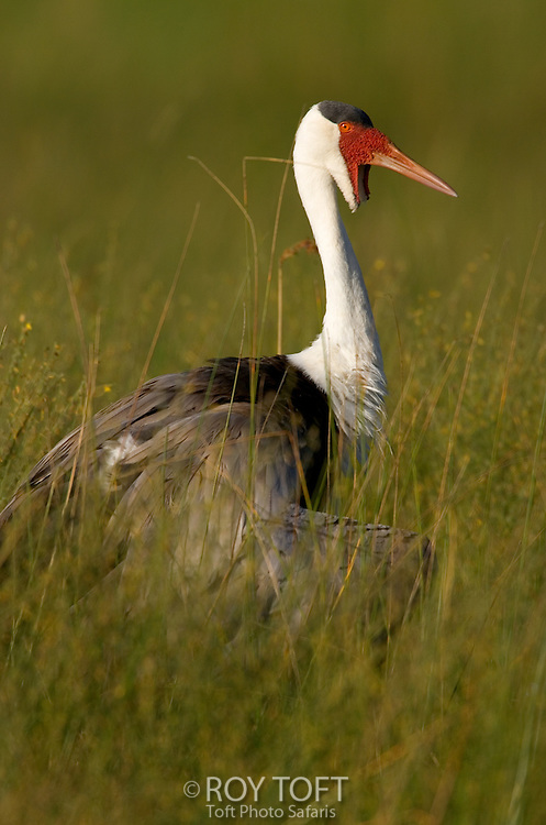 Profile view of a wattled crane (Bugeranus carunculatus) standing in the tall grass, Botswana.
