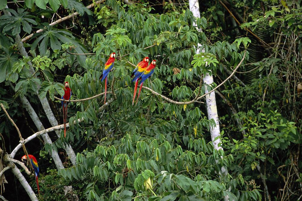 Scarlet Macaws<br />Ara macao<br />Serjali Clay Lick, Mishagua River. Amazon, PERU<br />SOUTH AMERICA