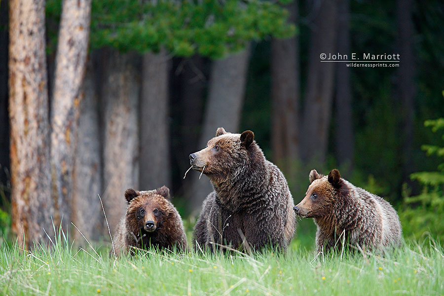 Grizzly bear mother and cubs (#64)