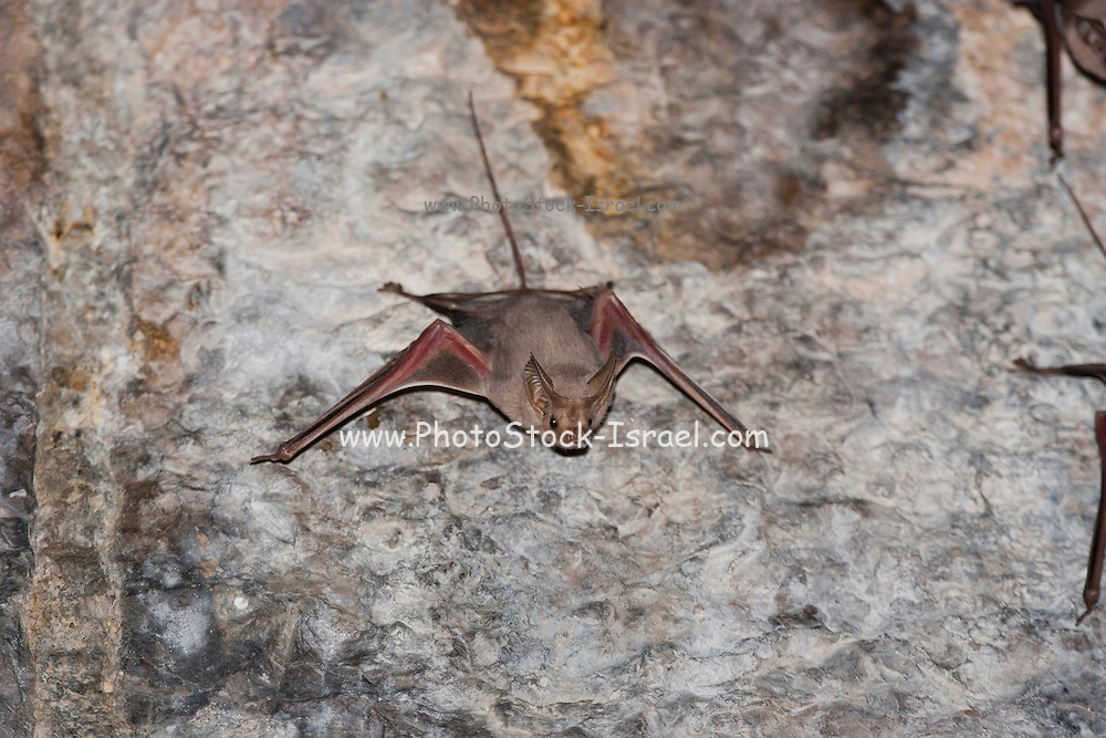 Lesser Mouse-Tailed Bat (Rhinopoma hardwickii) on a cave wall, Photographed in Golan Heights, Israel