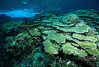 Healthy reef of hard corals just under the surface of the Great Astrolabe Reef, Kadavu Island, Fiji.