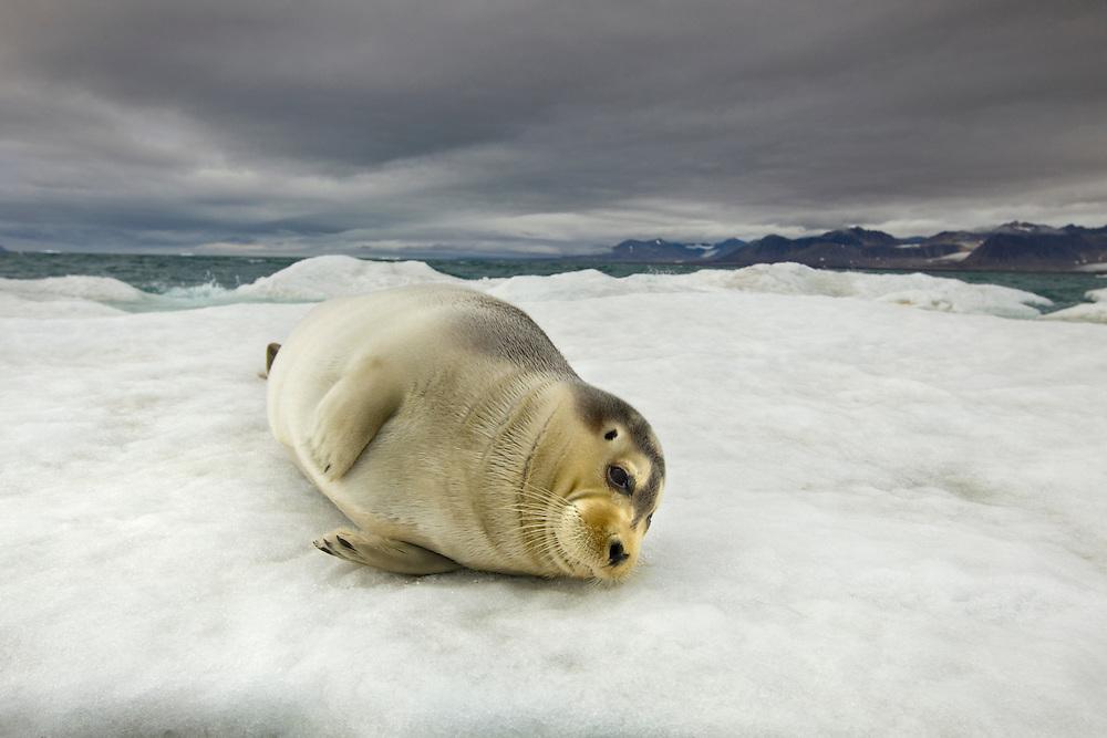 Norway, Svalbard, Spitsbergen Island, Bearded Seal (Erignathus barbatus) resting on melting sea ice beneath storm clouds