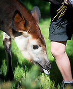 "Meghan, an Okapi at ZSL London Zoo eats her wedding bouquet floral treat to celebrate the forthcoming Royal Wedding.<br /> Attend ZSL London Zoo, Regent's Park, London, Great Britain <br /> 14th May 2018<br /> <br /> Meghan the Okapi <br /> With her mother Oni <br /> <br />  <br /> Keepers at ZSL London Zoo  give Meghan the okapi a royal treat to celebrate the forthcoming Royal Wedding – a bouquet of edible flowers to rival her namesake's, Meghan Markle. <br />  <br /> The five-month-old was named after Meghan to commemorate the Royal couple's engagement.<br /> <br /> ZSL London Zoo okapi keeper Gemma Metcalf said: ""A bouquet of tasty edible lilac flowers is the perfect wedding inspired treat for Meghan - we didn't want her to miss out on the big day, as she's named after the royal bride.<br />  <br /> ""She'll use her dextrous elongated tongue to tug the pretty petals off the bouquet in a matter of moments – just like how okapis tug vegetation and flowers off trees and bushes to eat in the wild.""<br />  <br /> Meghan's name is particularly fitting, as the endangered okapi was coincidentally first brought to the world's attention in 1901 by another Harry - ZSL fellow Sir Harry Johnstone.<br />  <br /> Photograph by Elliott Franks"
