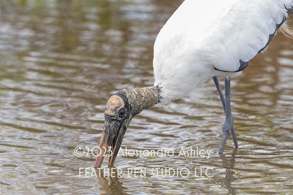 Wood stork(Mycteria americana) forages in shallow water. Photographed at Merritt Island NWR on Florida's Atlantic coast.