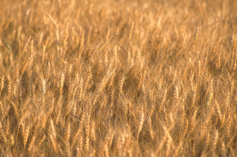 Kansas, USA - Wheat