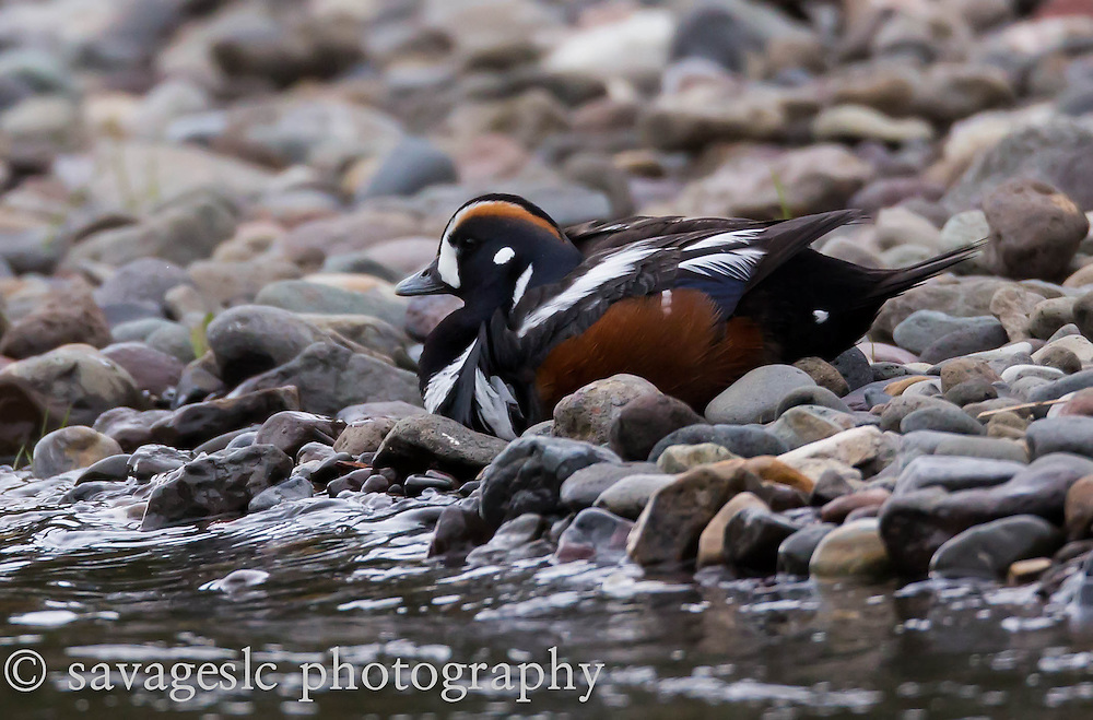 Harlequin on the shores of Soda Butte Creek.<br />