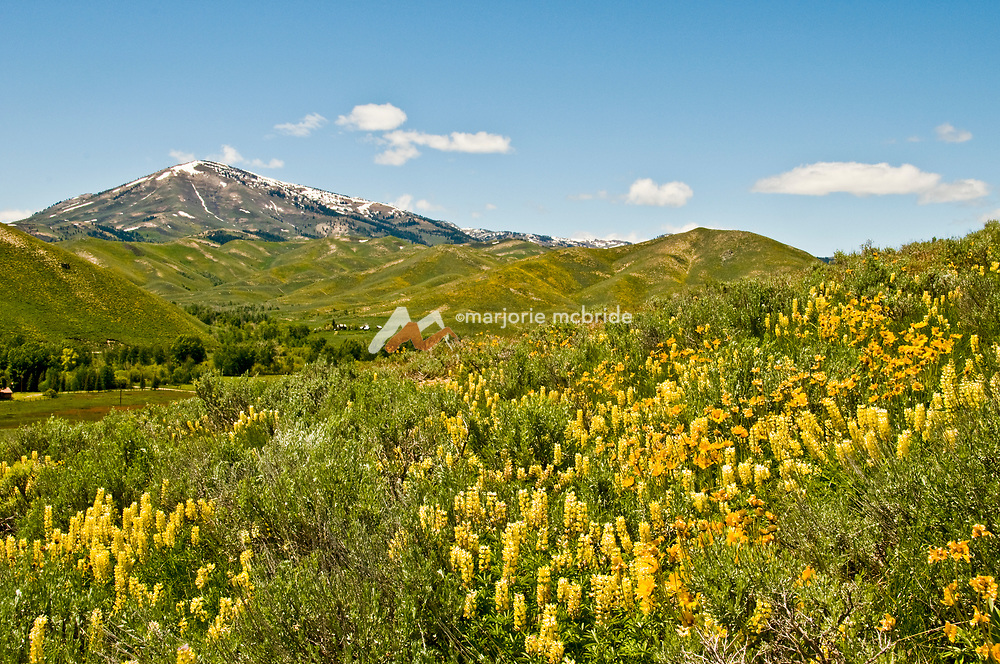 Snow capped Smokey Dome rises above Soldier Mountains ski resort with yellow wildflowers in bloom during spring in Fairfield, Idaho.
