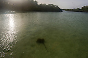 Pocupine Rays rest in a quiet backwater of the St Joseph Atoll, D'Arros Island and St Joseph Atoll, Amirantees, Seychelles,