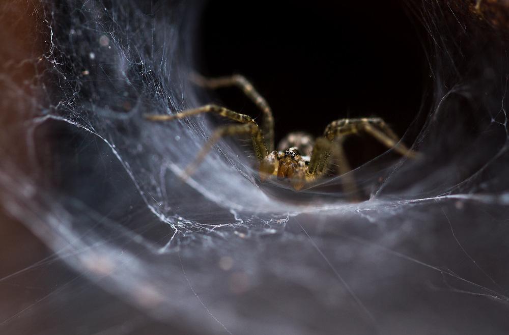 Funnel Weaver Spider (Agelenopsis spp.)