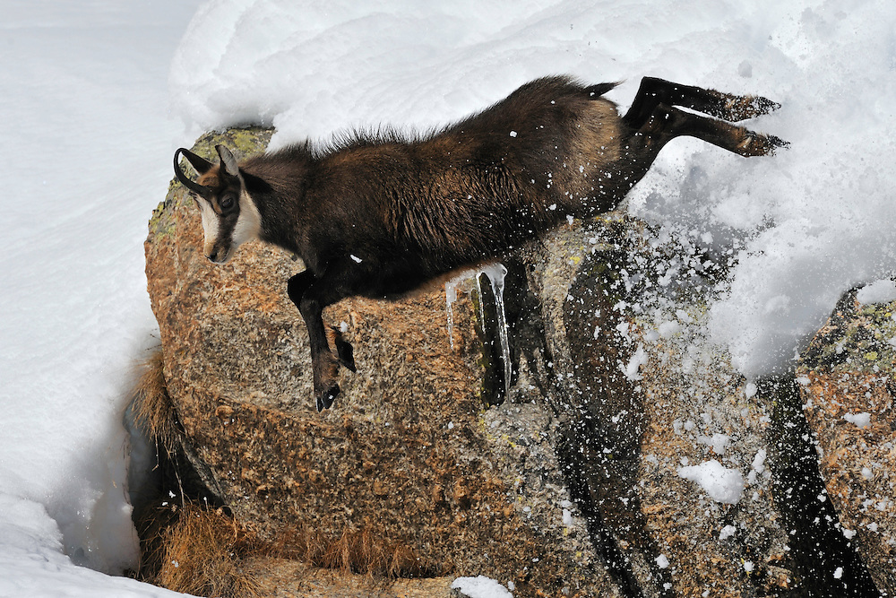Chamois (Rupicapra rupicapra) jumping down from a cliff.<br />