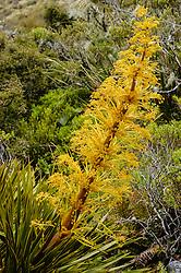 Golden spaniard, Aciphylla aurea, New Zealand