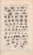 Copperplate print of spiders from Johannes Jonston book of nature 'Dr. I. Ionstons Beschrijving vande natuur der vogelen neffens haer beeldenissen in koper gesneden' Published in Amsterdam in 1660