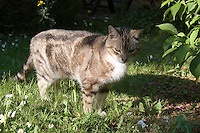 Tabby pet cat standing on garden grass in the sunlight