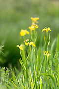 Yellow Flag Iris, Iris pseudacorus, wildflower in marsh and wetlands on Isle of Mull in the Inner Hebrides and Western Isles of Scotland
