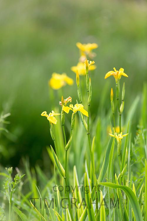 Yellow Flag Iris, Iris pseudacorus, wildflower in marsh and wetlands on Isle of Mull in the Inner Hebrides and Western Isles of Scotland
