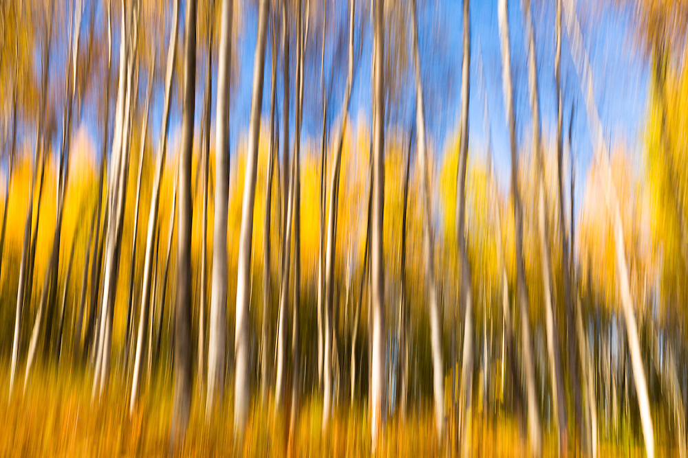 Creative blur of aspen, birch, and spruce trees gives an impressionistic, painterly feel to fall foliage in Eagle River in Southcentral Alaska in late autumn. Afternoon.