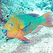 Rainbow Parrotfish swim about shallow reefs and rocky shorelines scrapping filamentous algae from hard substrates in Tropical West Atlantic; picture taken Key Largo, FL.