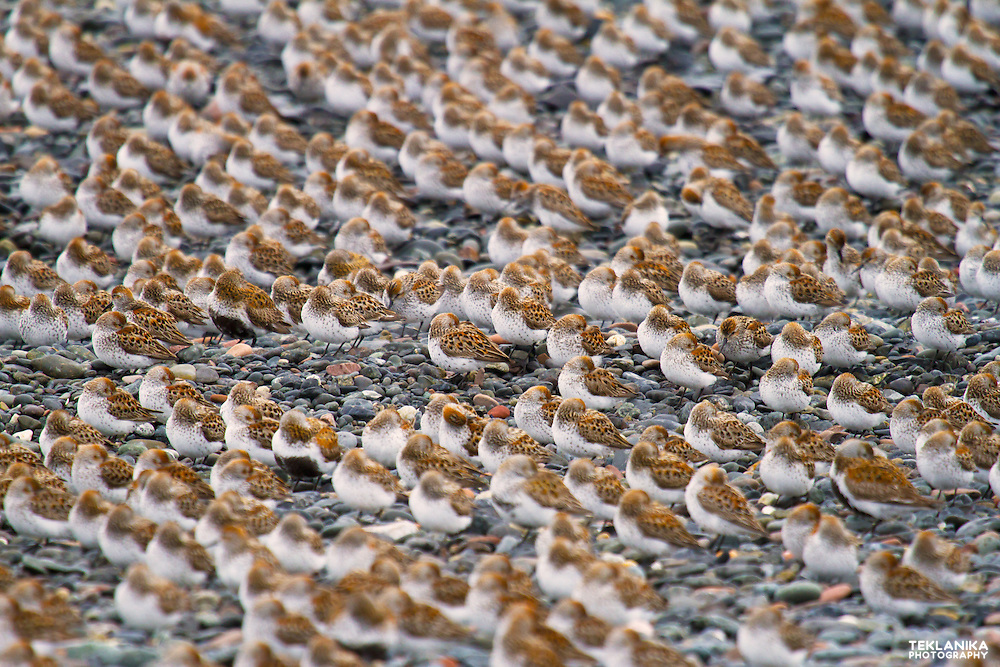 A mixed flock of western sandpipers rests on a beach during spring migration.