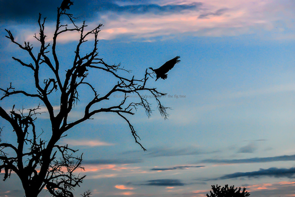 Vulture at sunset, Kruger.<br />