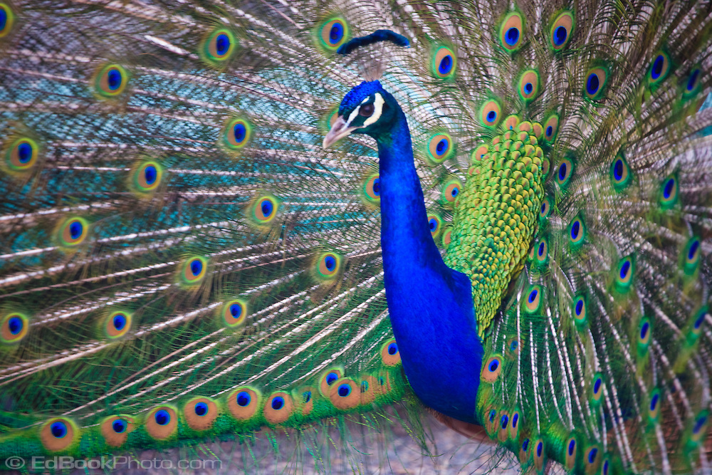 An Indian Blue Peacock (Pavo cristatus) spreads it's tail feathers in a courting display at the Point Defiance Zoo, Tacoma, WA, USA.