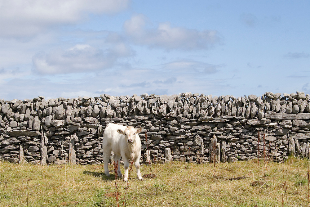 Calf in a field on Inis Oirr Island the Aran Islands County Galway Ireland