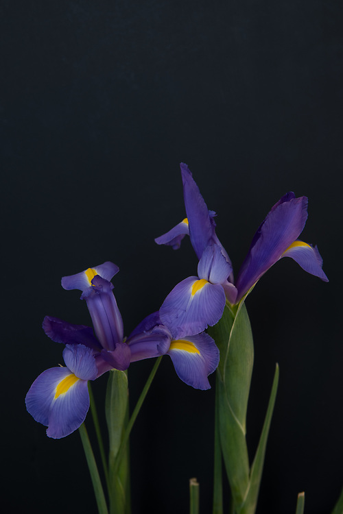 Still Life flowers photo print, purple iris flowers, Santa Monica wall art photography limited edition matted print, fine art.