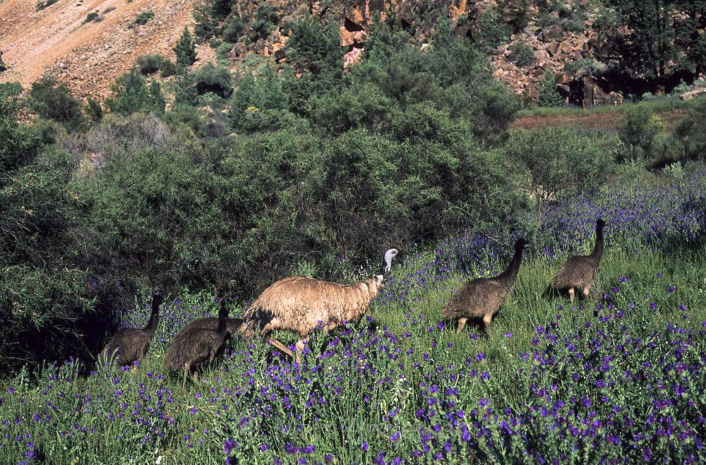Emu, Dromaius novaehollandiae, with chicks walking through purple flowers, Flinders Ranges, South Australia.