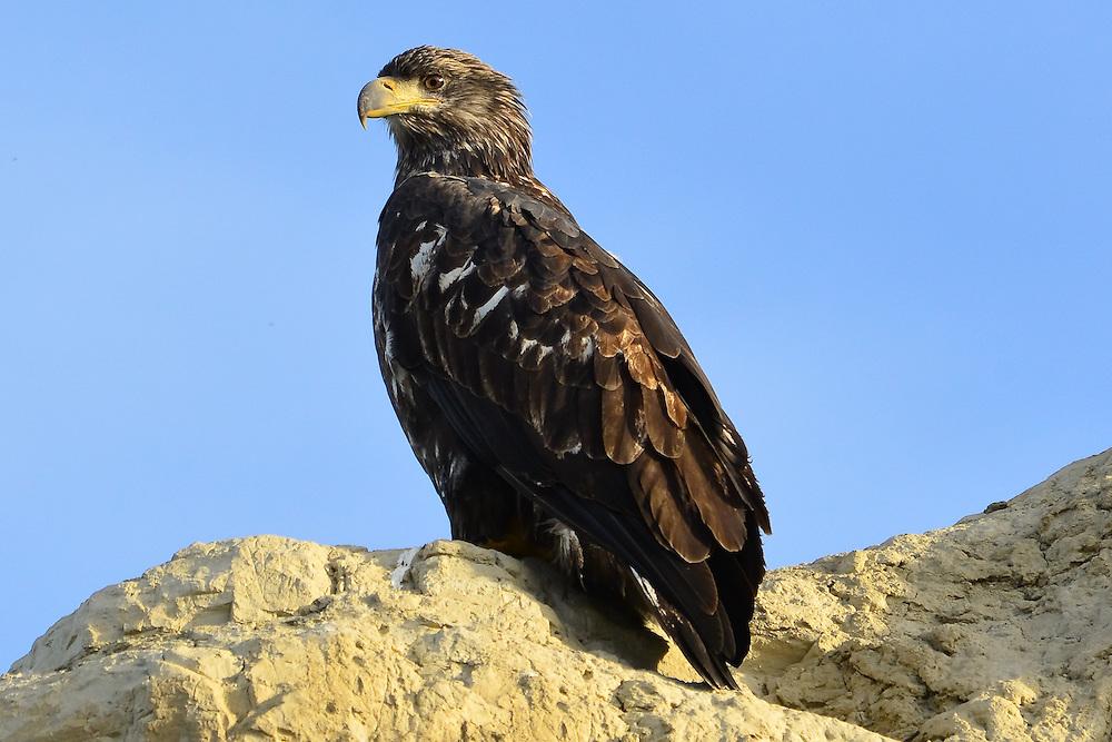 Bald eagle immature plumage