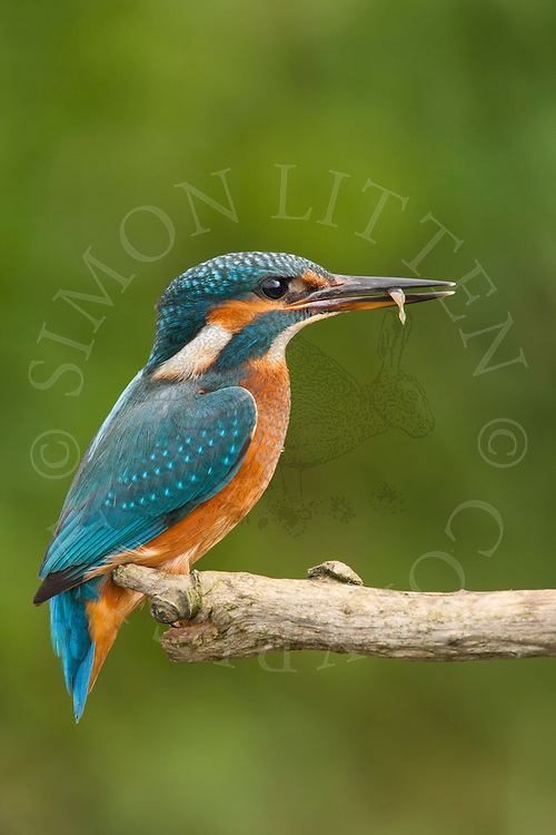 Common Kingfisher (Alcedo atthis) immature female with fish in beak, perched on branch, Norfolk, UK.