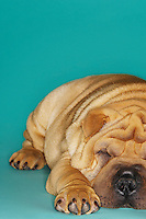Shar-pei lying down front view
