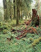 Hoh, Hoh Rain Forest, Rain Forest, Olympic, Olympic National Park, Washington