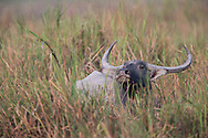 Asian water buffalo, Kaziranga National Park, India