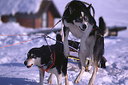 Sled dogs at Caribou Lodge