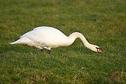 Mute Swan , Oxfordshire, United Kingdom.