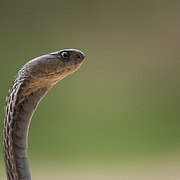 Siamese Spitting Cobra (Naja siamensis) in Cha-am district, Phetchaburi, Thailand