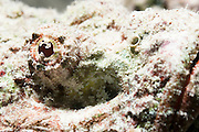 Reef Stonefish (Synanceia verrucosa) camouflaged among coral. Its eye is seen at centre. This solitary fish inhabits reefs of the Indo- Pacific region, indistinguishable from the rocks amongst which it hides. The stonefish feeds on smaller fish and crustaceans, and grows up to 40 centimetres in length. The fins along its back (not seen) contain poisonous spines, used in defence. It is the world's most poisonous fish and can be fatal to humans unless a serum is applied immediately. Photographed in the Ras Mohammed National Park, Red Sea, Sinai, Egypt,